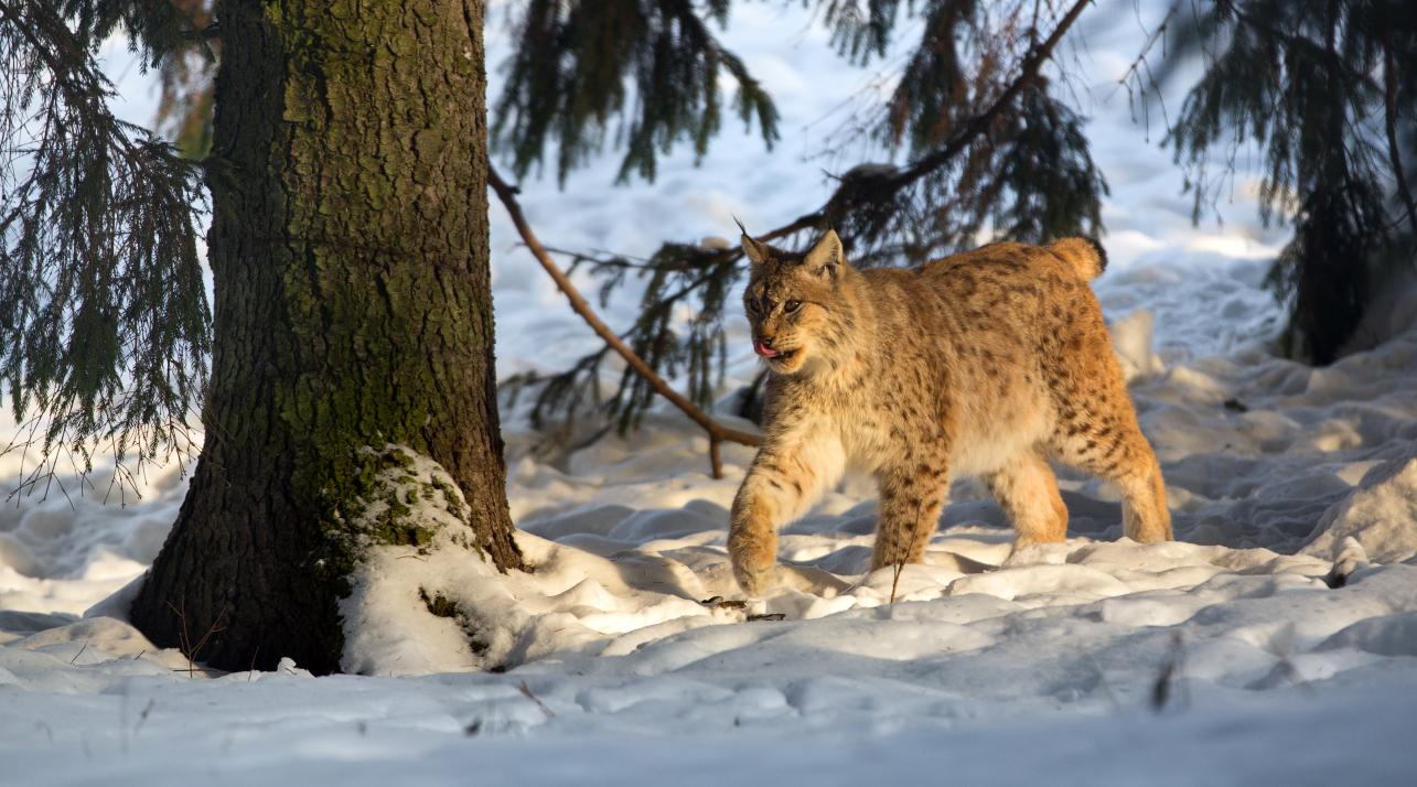 Ilves Lõuna-Eestis