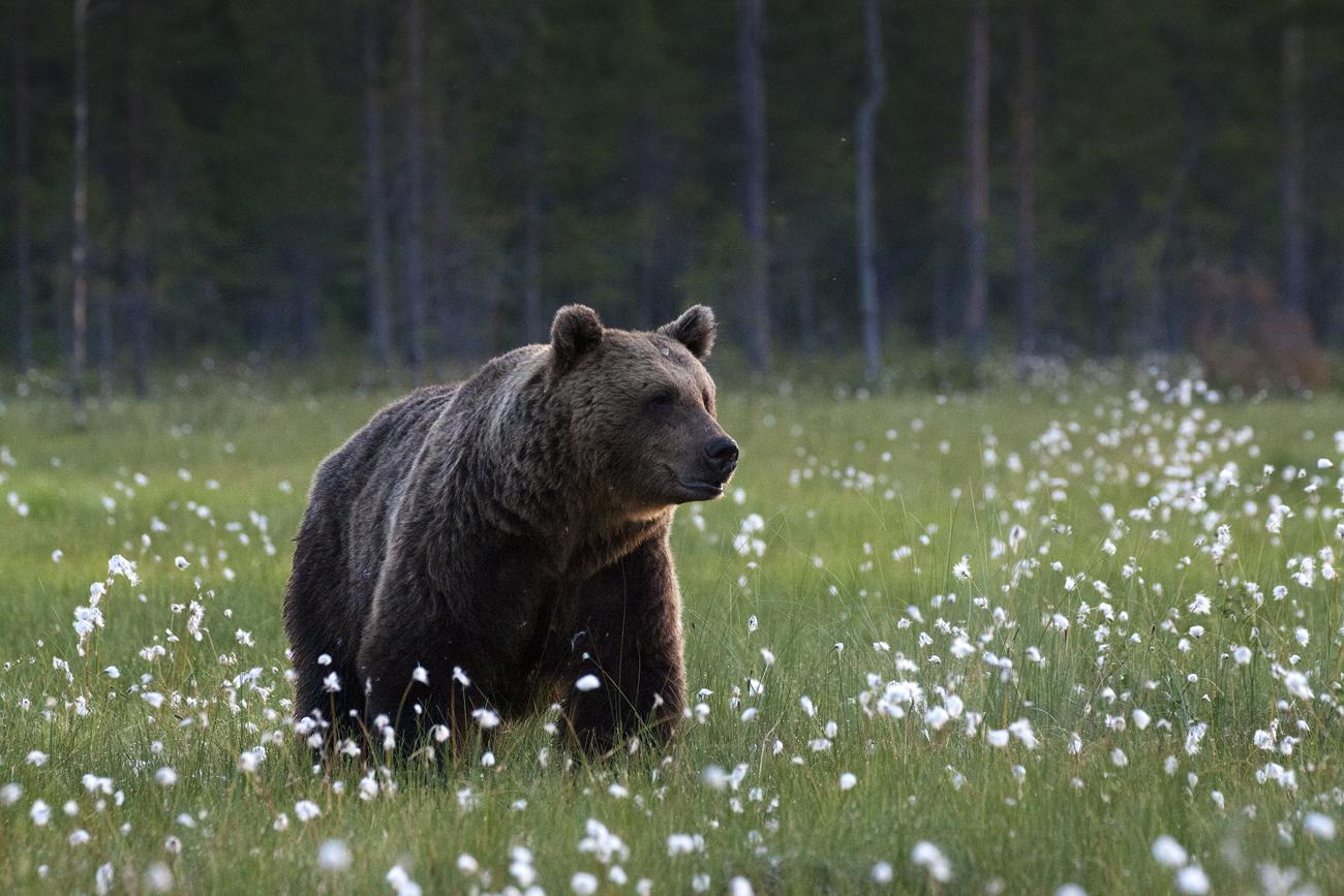 Karu ja villatupsud
