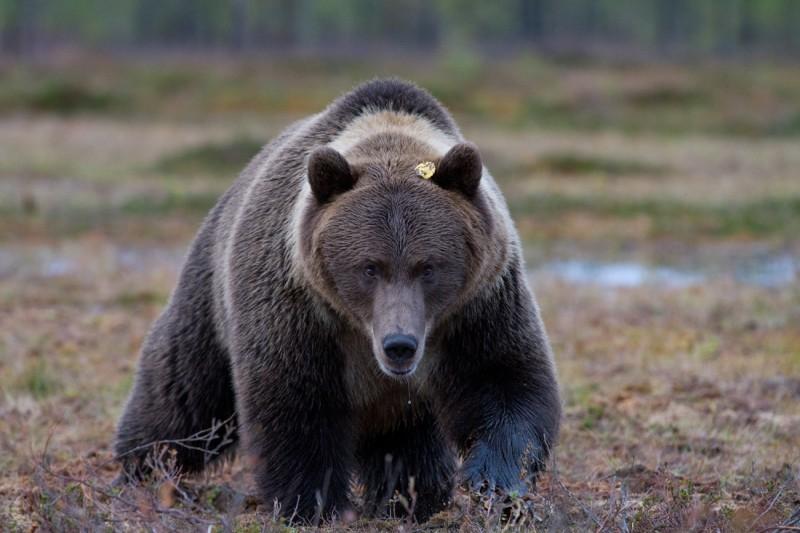 Karu kaselehega