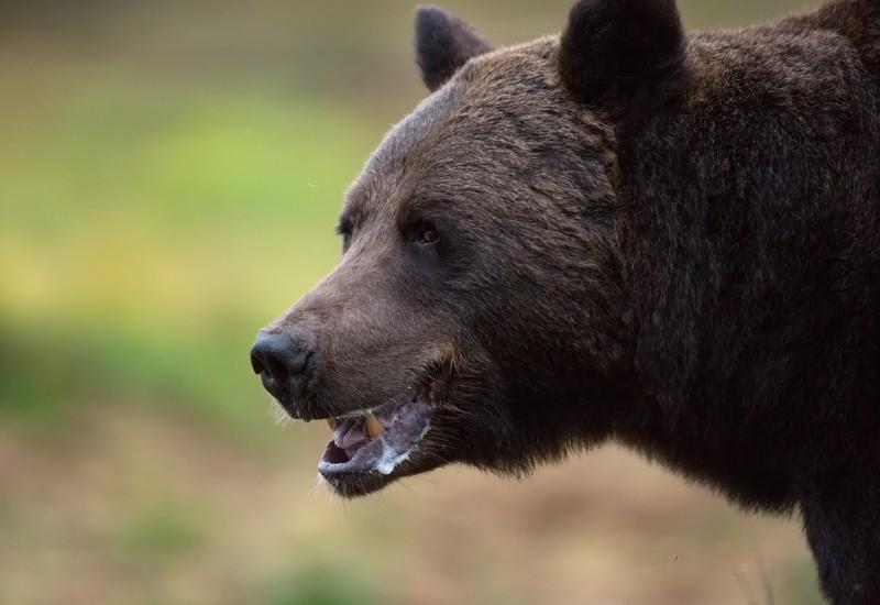 Karu pilt