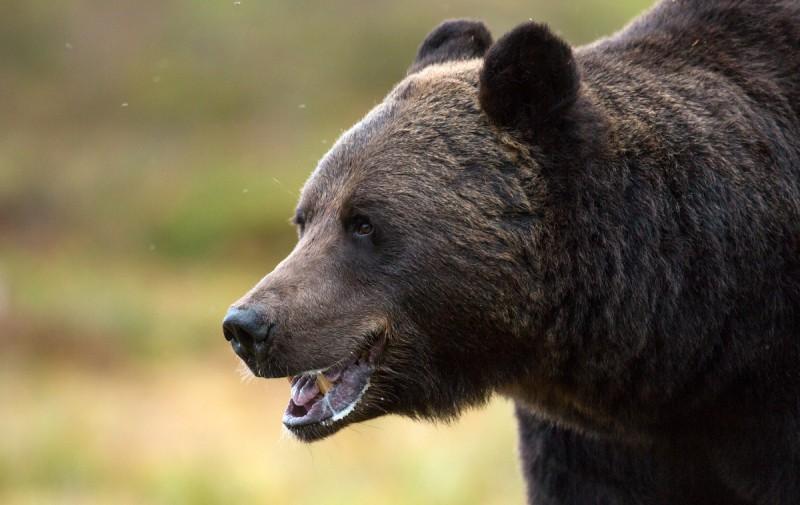 Karu portree