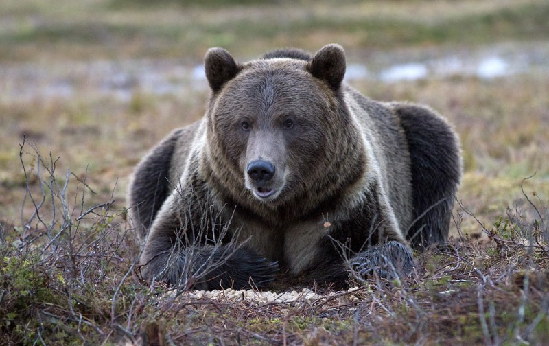 Karu Viiksimos einestamas