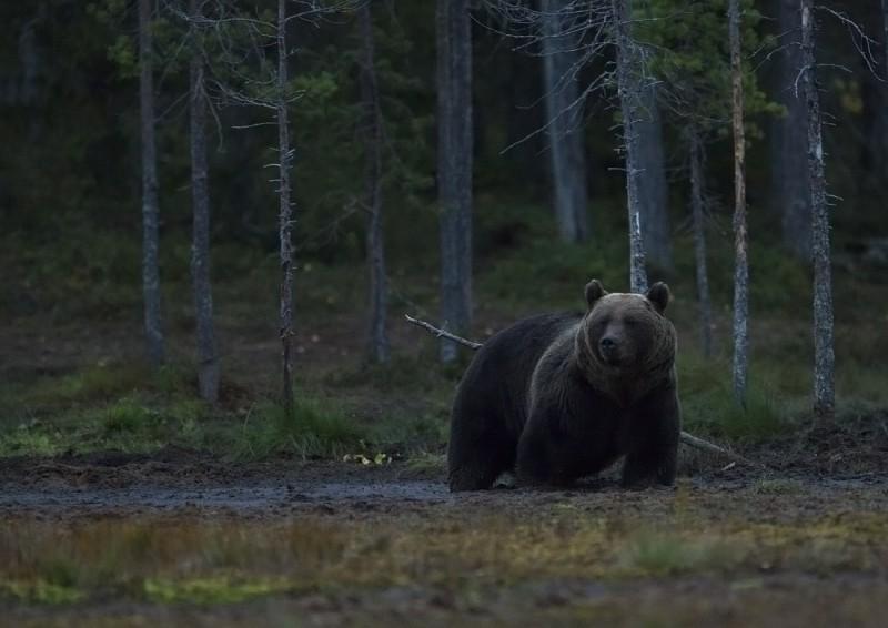 Õhtune karu