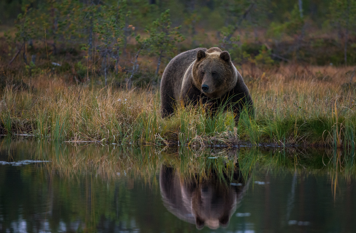 Peegeldusega karu