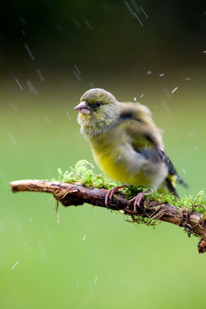 Rohevint vihmas