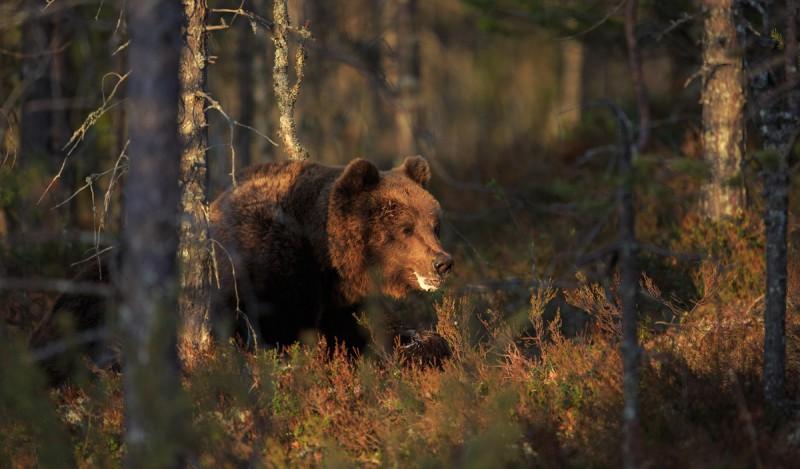 Vana karu puhkamas