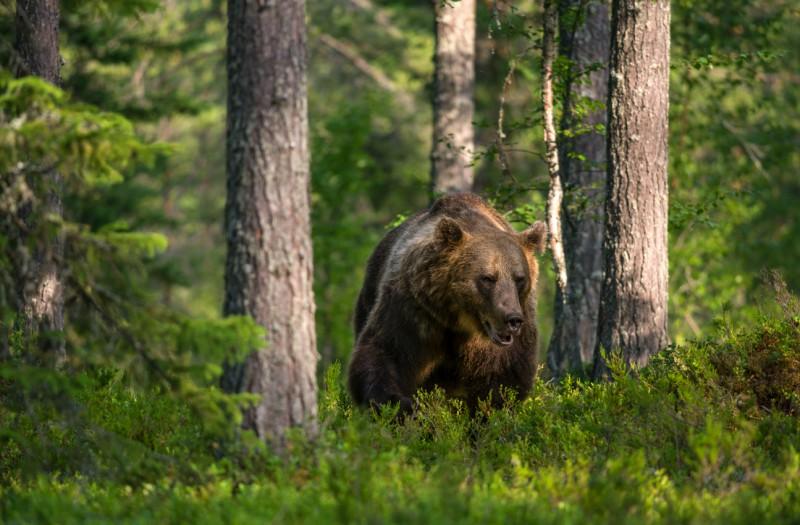 Vana karu metsaserval.