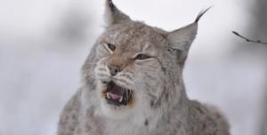 ilves, lynx
