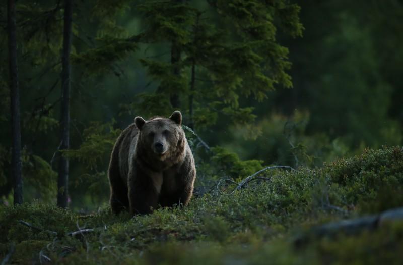 Hilisõhtu karuga