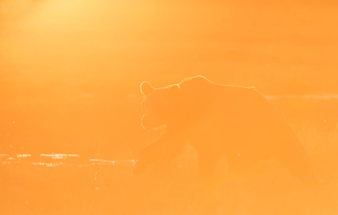 Kuldses valguses karu Viiksimos