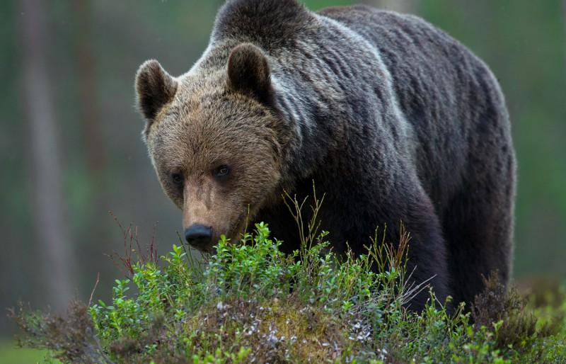 Mustikapuhma tagant vaatab vastu karu