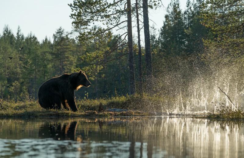 Väike ehmatus, karu toetus kuivanud puule ja see murdus kukkudes vette