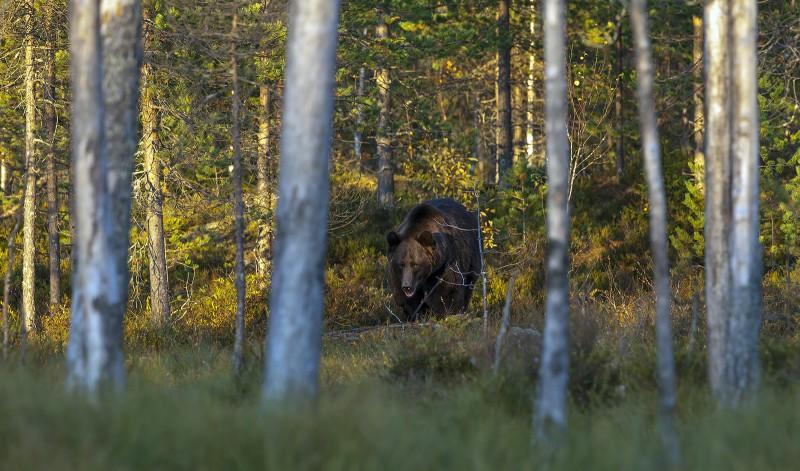 Karu metsaservas