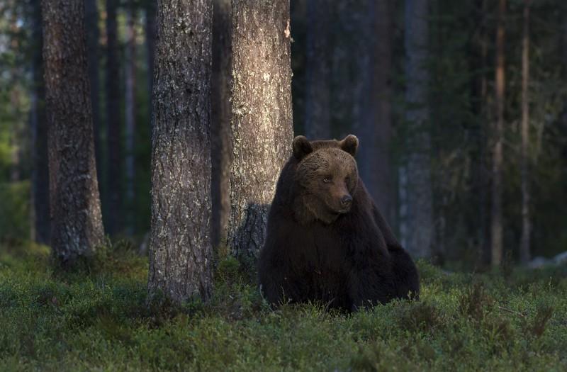 Kui kohtad mustikametsas karu