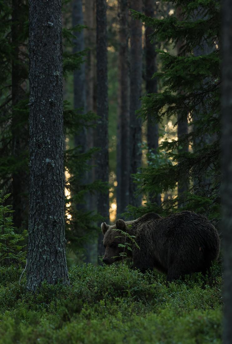 Karu metsas