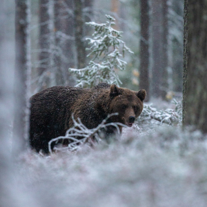 Lumises metsas