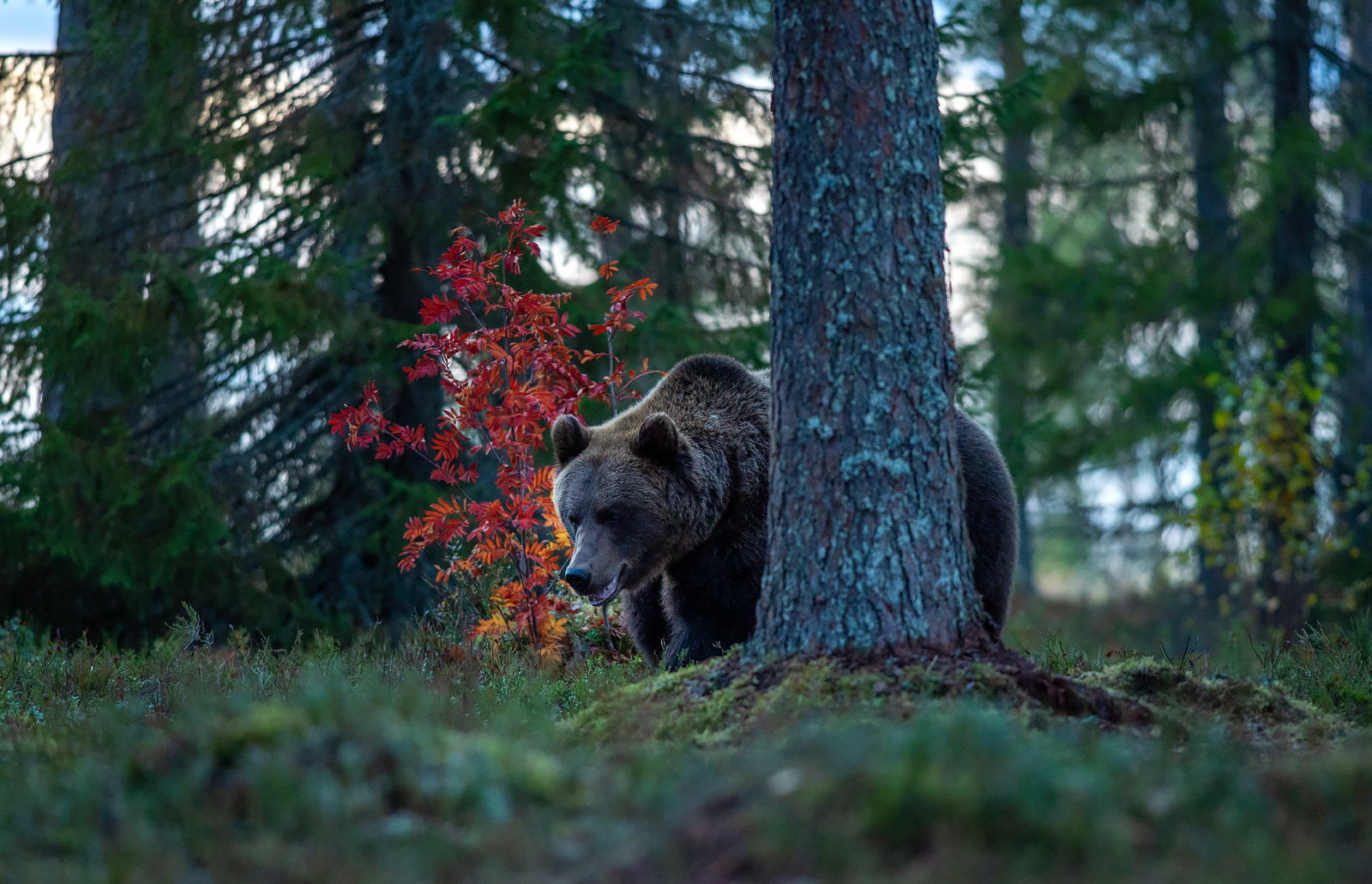 Karu pihhlakatega