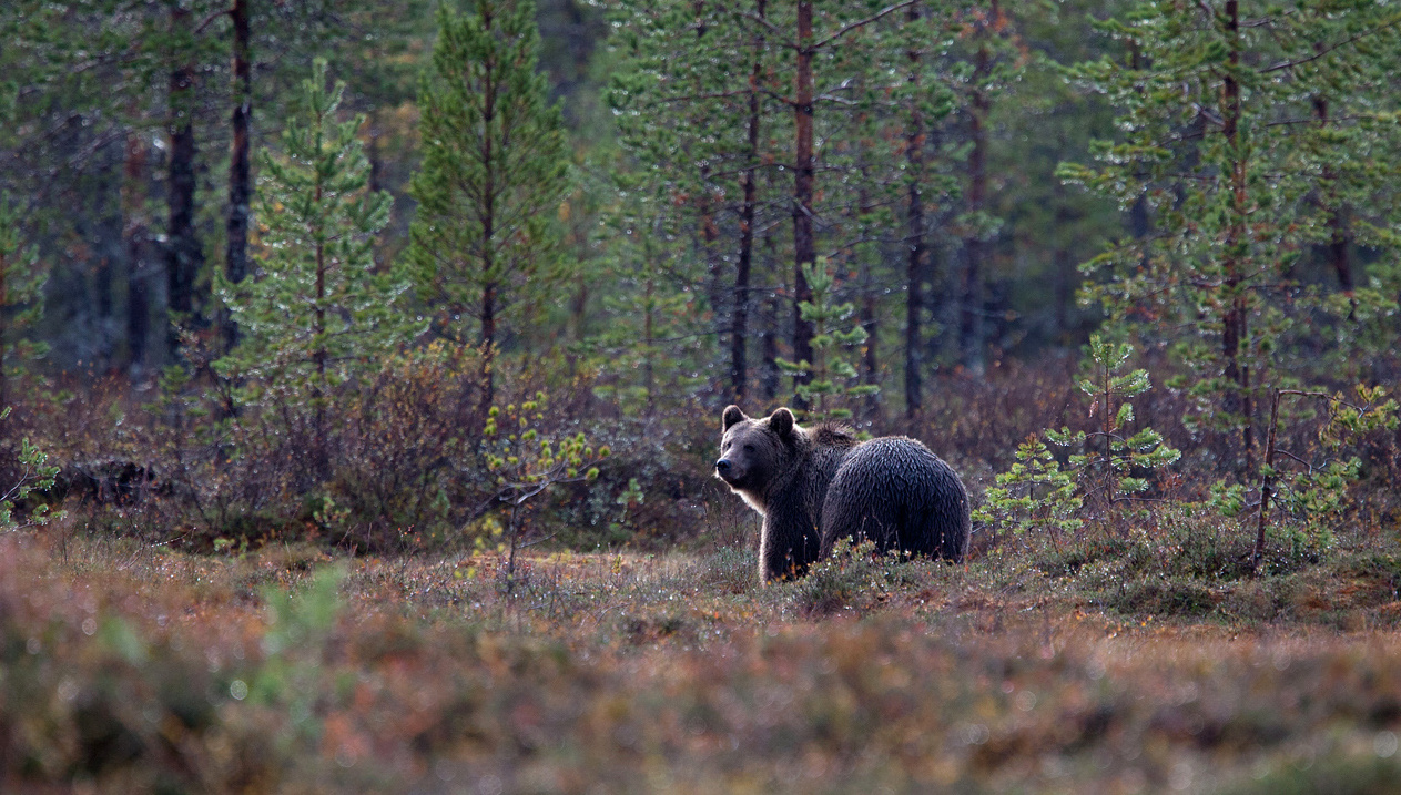 Karu metsaserval