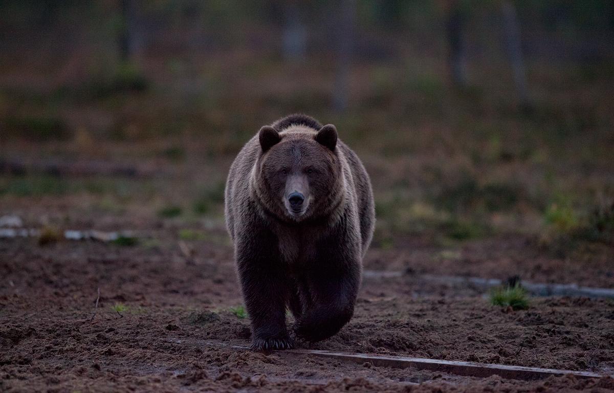 Karu õhtuhämaruses