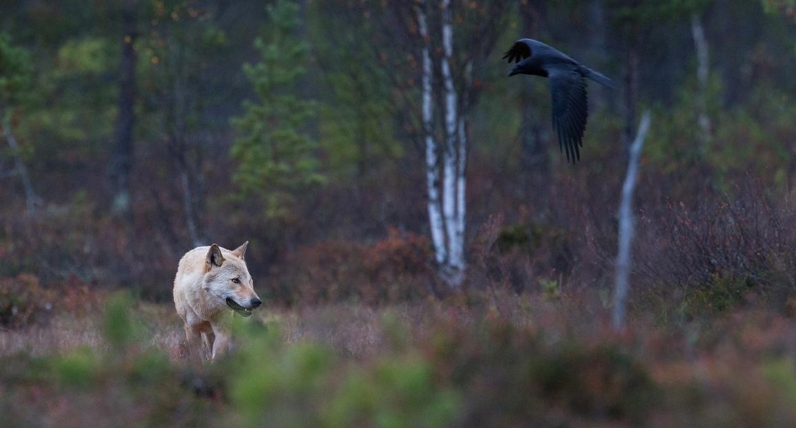 Valge hunt